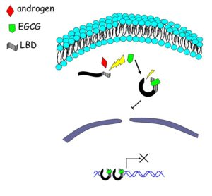 Illustration depicting the effect of green tea constituent EGCG on androgen receptor (AR) mediated signaling