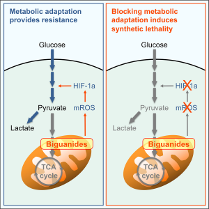 "An illustration of the phenomen described in the article. The first image, titled ""Metabolic adaptation provides resistance,"" shows the normal metabolic cycle of glucose being fed to the Mitochondria being blocked by Biguanides (the group of drugs that includes Metformin and Phenformin, which was also used in the experiment). Arrows show the drugged Mitochondria releasing mROS, which triggers HIF-1α to redirect the glucose to be fermented into lactate for the cell to consume as fuel instead. The second image, titled ""Blocking metabolic adaptation induces synthetic lethality,"" shows the HIF-1α suppressor taking effect, causing the glucose to not be fermented into lactate, effectively starving the cell."